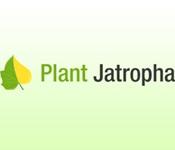 Plant Jatropha
